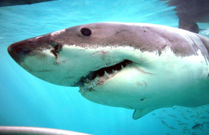 White Shark, Carcharodon carcharias