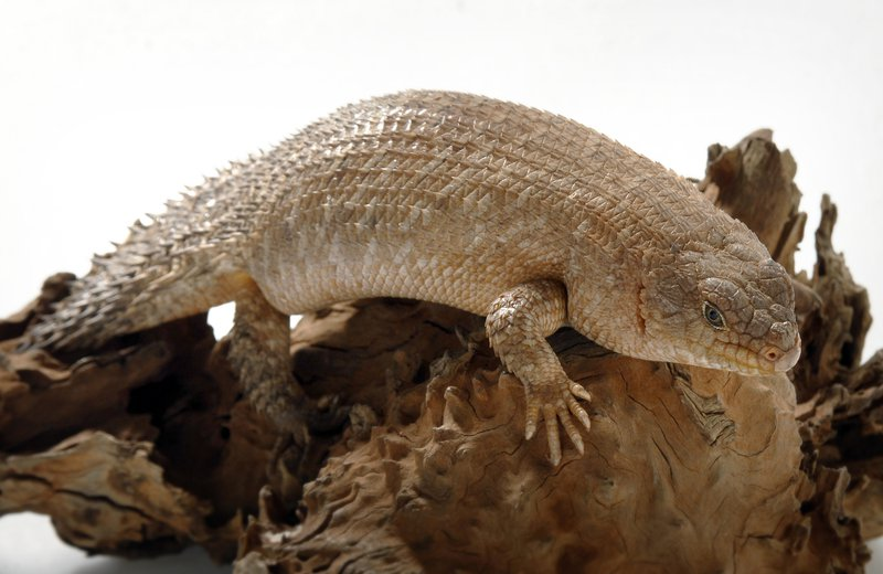Gidgee Skink with white background
