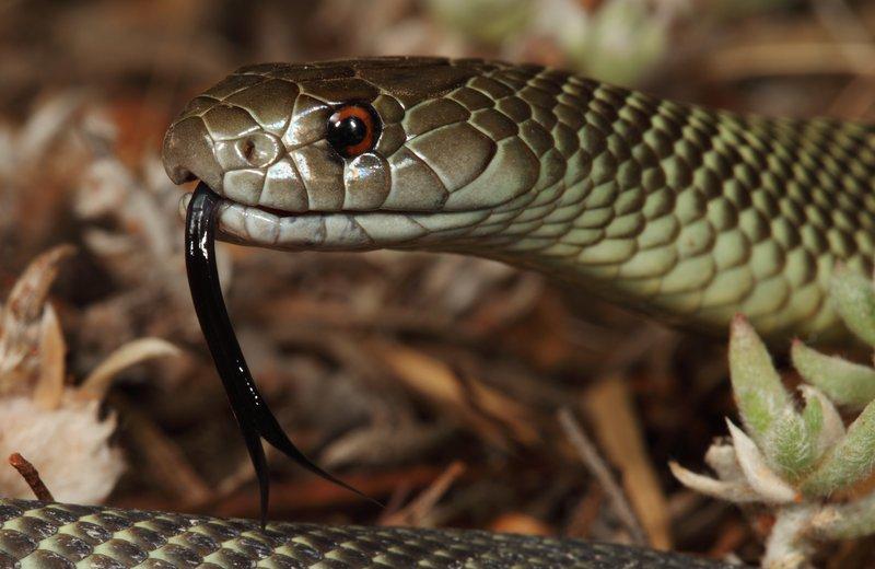 Mulga Snake Pseudechis australis