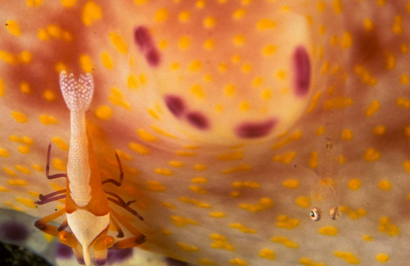 Shrimp and goby on a nudibranch