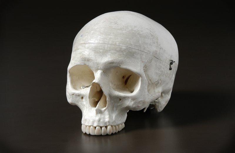 Homo sapien skull cast