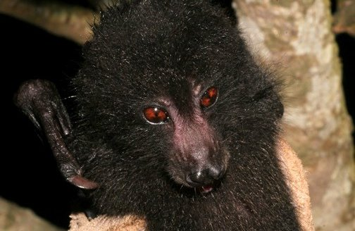 Guadalcanal Monkey-Faced Bat