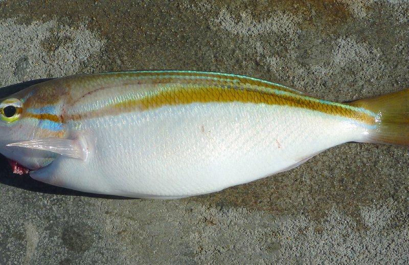 Western Butterfish, Pentapodus vitta