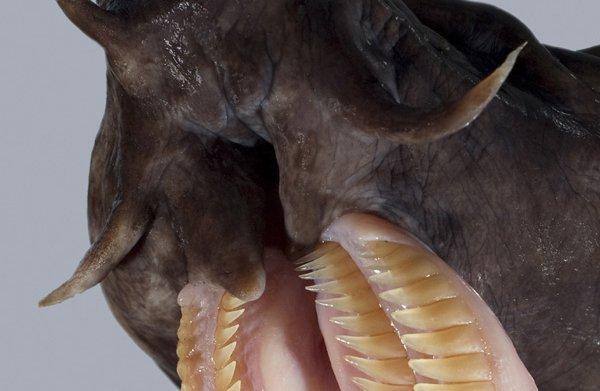 Broadgilled Hagfish teeth
