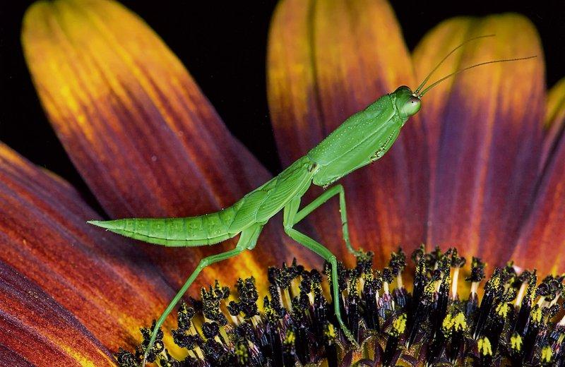 Mantis - Harj'ono Dj'oyobisono