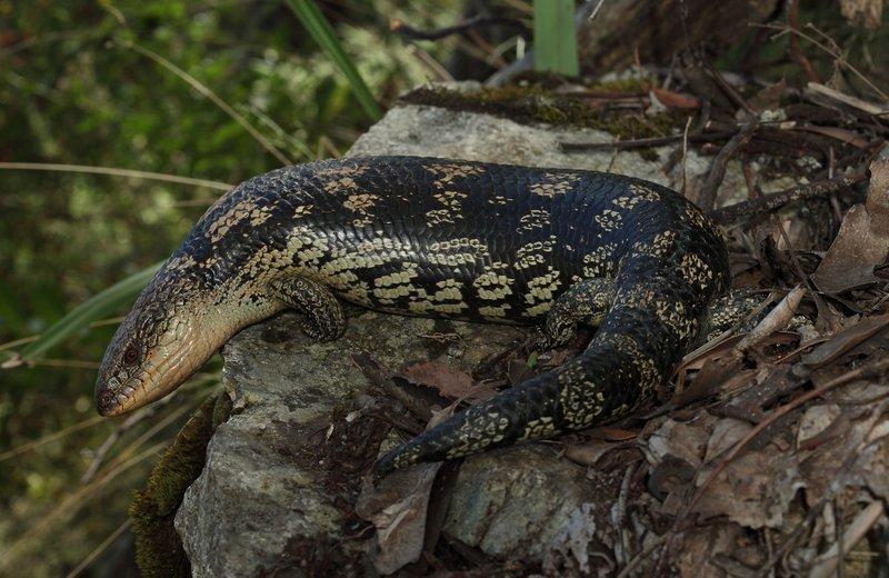 Blotched Blue-tongue Tiliqua nigrolutea