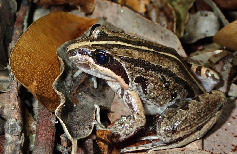 Striped Marsh Frog (Limnodynastes peronii)