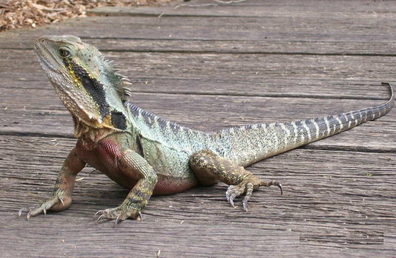 Eastern Water Dragon, P.l. lesueurii at Currumbin Sanctuary