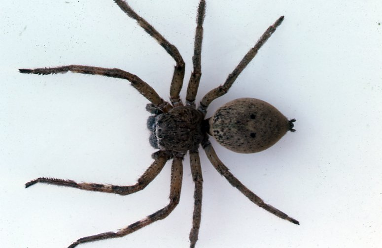Badge Huntsman Spider