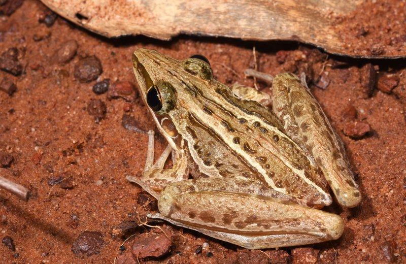 Striped Rocket Frog (Litoria nasuta), Northern Territory, Australia.
