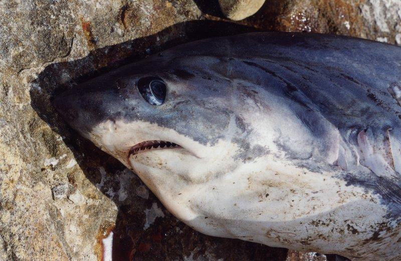 Thresher Shark, Alopias vulpinus