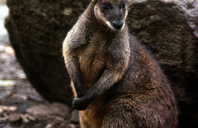 Australia Biota evolution, A Swamp Wallaby