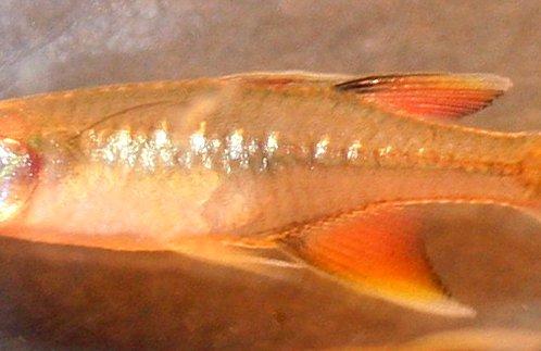 Pacific Blue Eye, Pseudomugil signifer