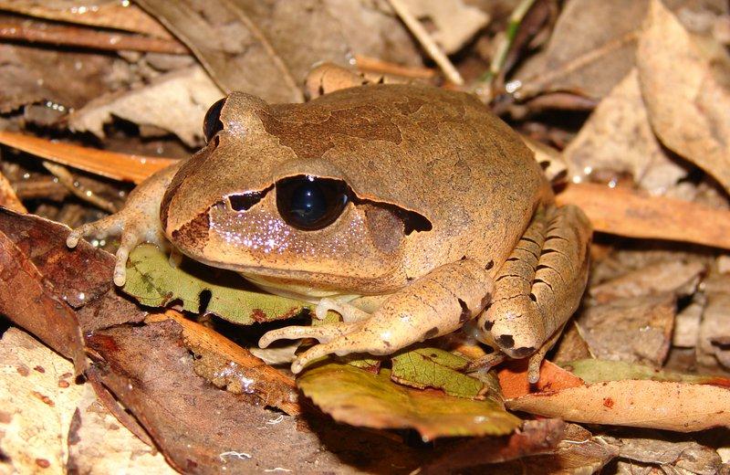 Great-barred Frog (Mixophyes fasciolatus)