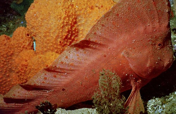 Red Indianfish, Pataecus fronto