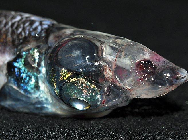 Glasshead Barreleye, Rhynchohyalus natalensis