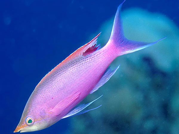 Purple Queen, Pseudanthias tuka