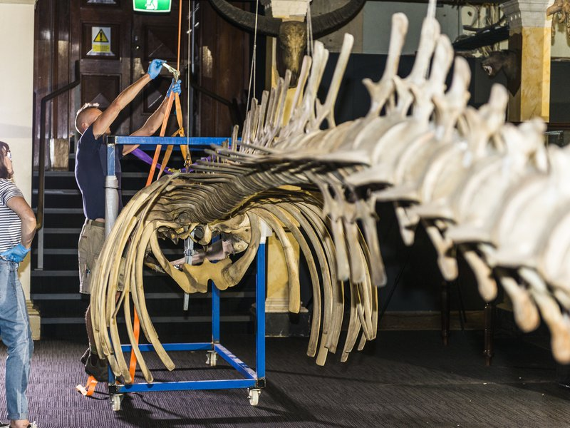 Whale Skeleton Removal
