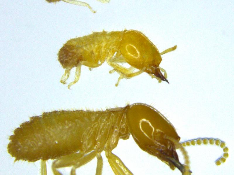 'micro' termites