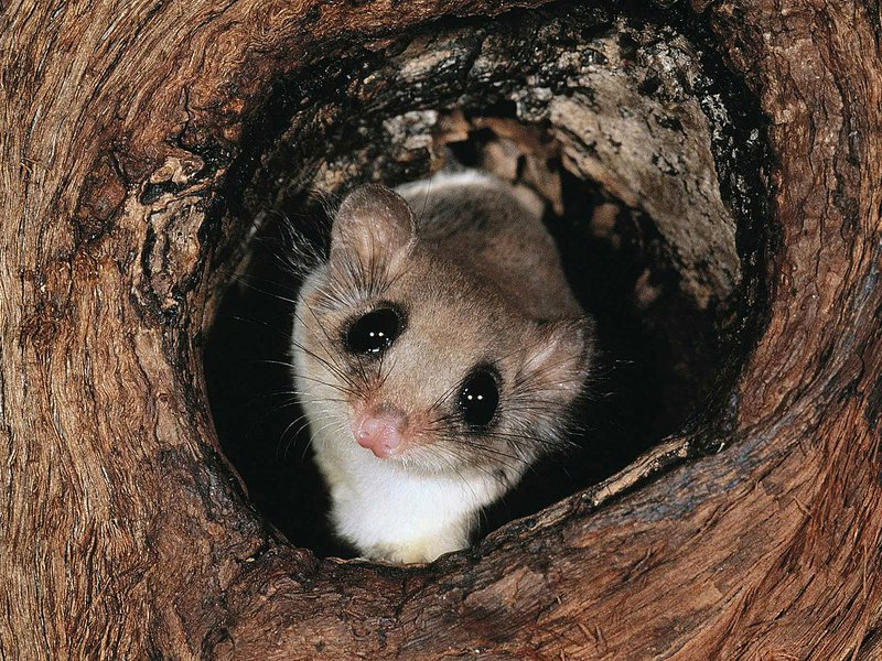 Feathertail glider