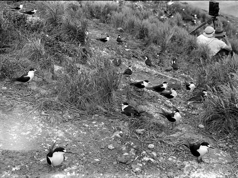 Photographers: Birds on Lord Howe Island