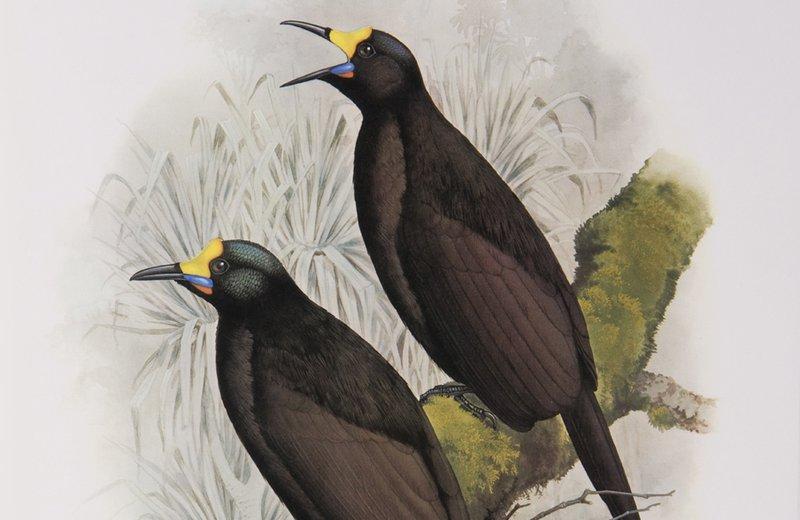Long-tailed Paradigalla