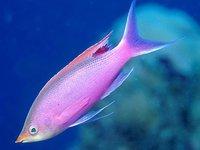 Male Purple Queen,<i> Pseudanthias tuka</i>