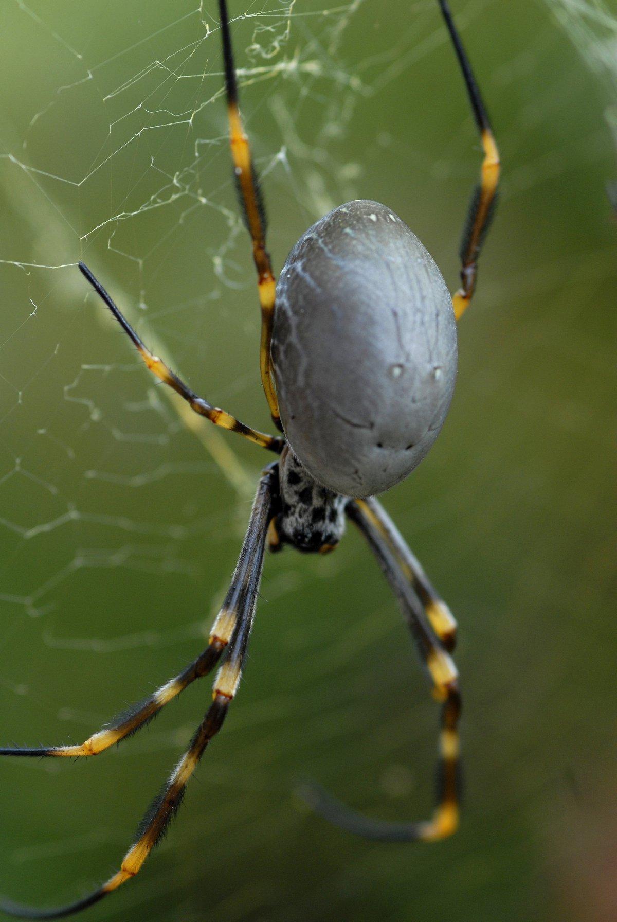 Golden Orb Weaving Spiders The Australian Museum