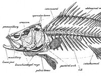 Skeleton of a Nile Perch from Norman, 1947