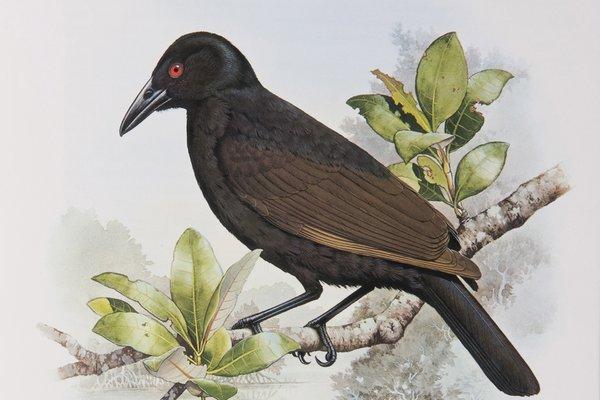Paradise Crow