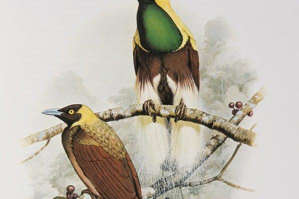 Greater Bird of Paradise - The Australian Museum