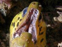 Fimbriate Moray, Gymnothorax fimbriatus