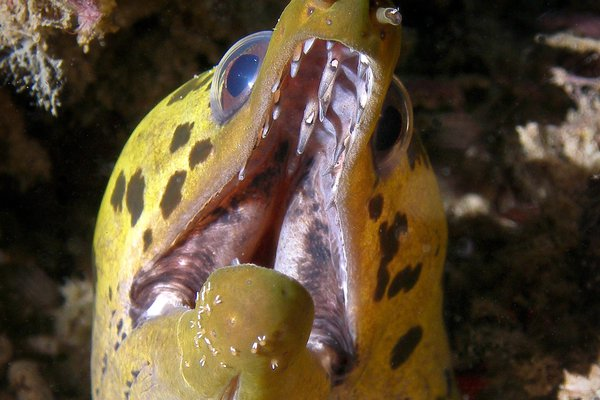 Fimbriate Moray, Gymnothorax fimbriatus