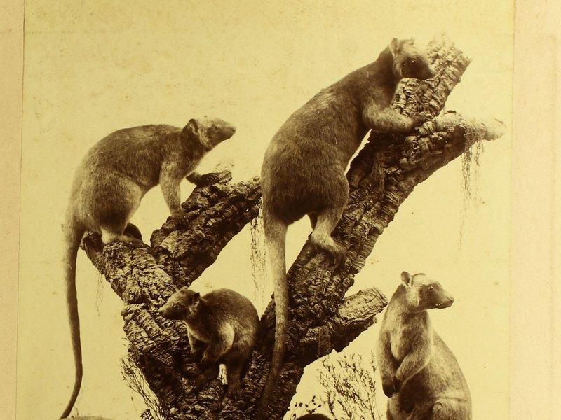 AMS421/21/p45 The Tree Kangaroo, Dendrolagus Lumholtzi, Collett