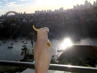 Sydney Cockatoo
