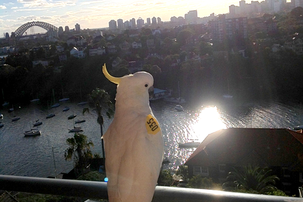 Sydney Cockatoo