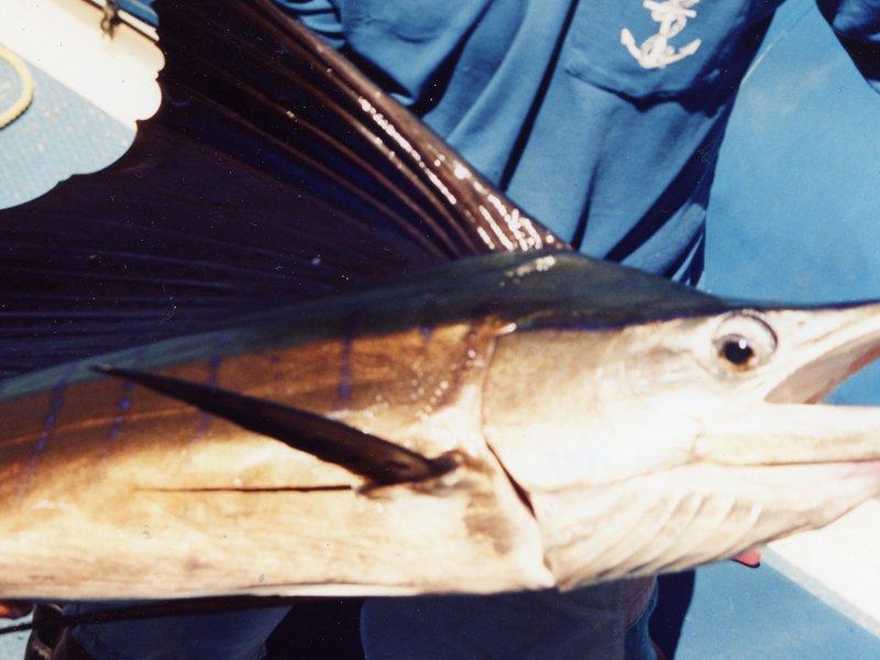 Indo-Pacific Sailfish<i>Istiophorus platypterus</i>