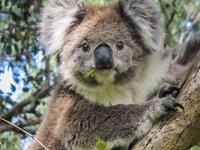 Wild Australian Koala