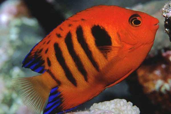 Flame Angelfish, Centropyge loricula