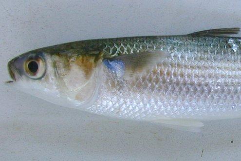 Sea Mullet, Mugil cephalus