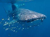 Whale Shark,<i> Rhincodon typus</i>