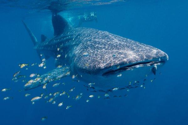 Whale Shark, Rhincodon typus