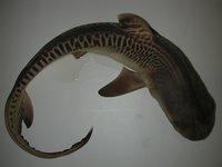 Galeocerdo cuvier