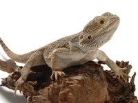 Central Bearded Dragon <i> Pogona vitticeps</i>