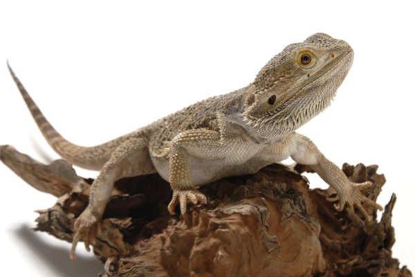 Central Bearded Dragon <i> Pogona vitticeps</i>
