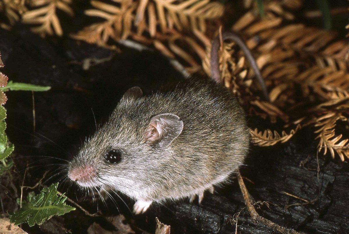 Bush Rat - The Australian Museum