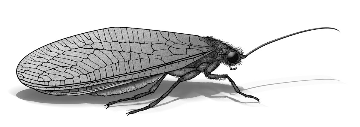 Lacewings and Antlions: Order Neuroptera - The Australian Museum
