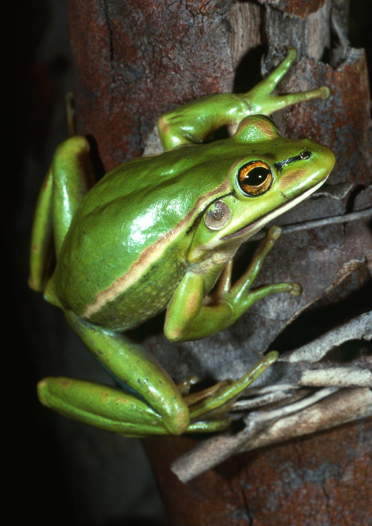 Green and Golden Bell Frog - The Australian Museum