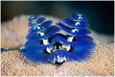 Spirobranchus Or The Christmas Tree Worm