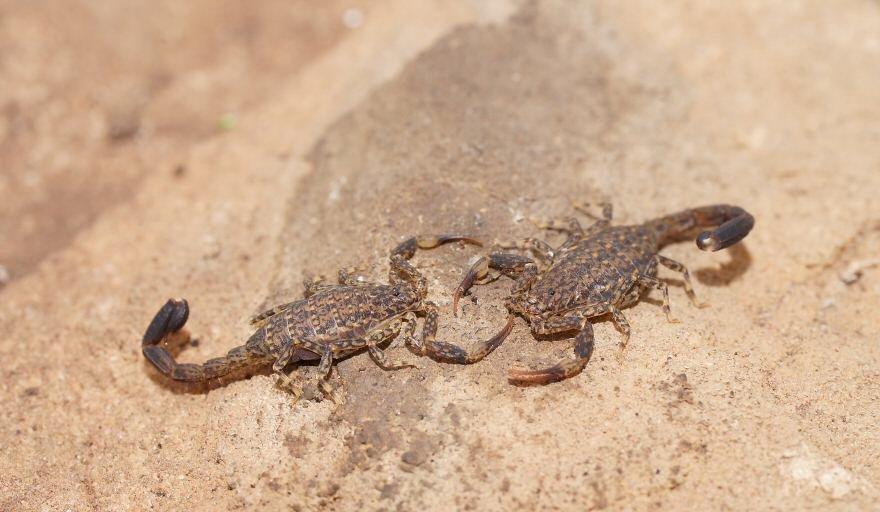 Scorpion Eggs Pictures